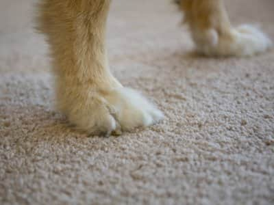 Dog paws on carpet